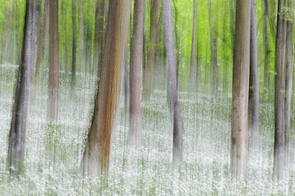 Beech forest (Fagus) with ramson field, blurred