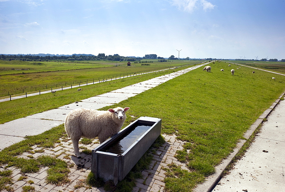 Dike top with pastures and sheep, Dangast, Lower Saxony, Germany, Europe