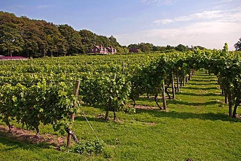 Wine cultivation in Leeds Castle, Leeds, county of Kent, England, Europe