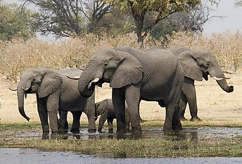 Herd of African Bush Elephants (Loxodonta africana) drinking at a river in Moremi Wildlife Reserve, Botswana, Africa