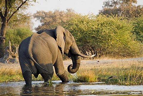African Bush Elephant (Loxodonta africana), Moremi Wildlife Reserve, Botswana, Africa