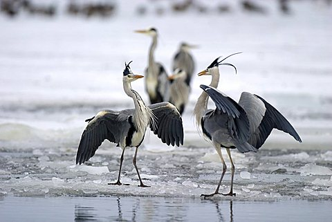 Grey Herons (Ardea cinerea) fighting on a frozen lake, Usedom Island, Mecklenburg-Western Pomerania, Germany, Europe