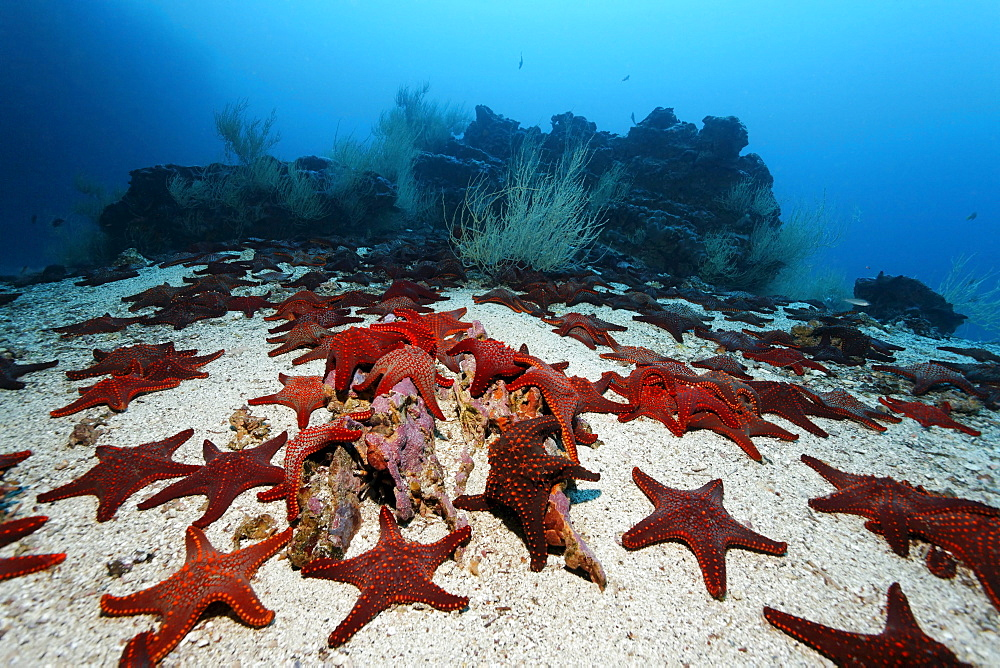 Gathering of Knobby Star Starfish (Pentaceraster cumingi) on sandy ground in front of a reef, Cousin Rock, UNESCO World Heritage Site, Galapagos archipelago, Ecuador, Pacific Ocean
