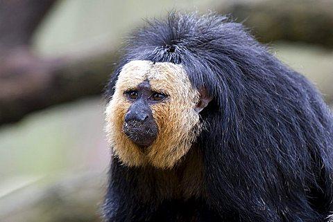 White-faced- or Golden-faced- or Guianan Saki (Pithecia pithecia), Monkey Zoo, Apenheul, Netherlands, Europe
