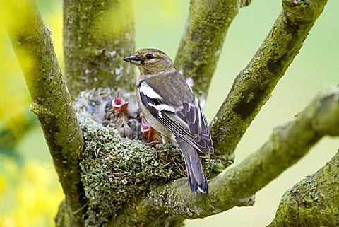 Female Chaffinch (Fringilla coelebs) feeding her young, Gillenfeld, Vulkaneifel, Germany, Europe - 832-23651