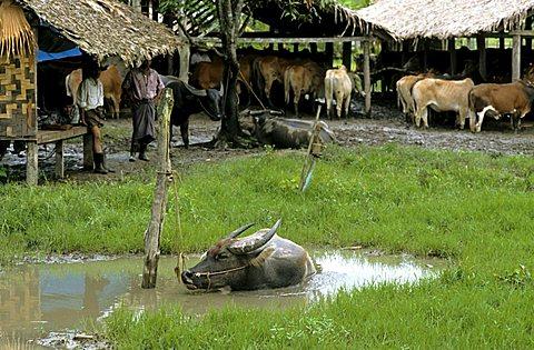 Water buffalo, Burma, Myanmar, Asia