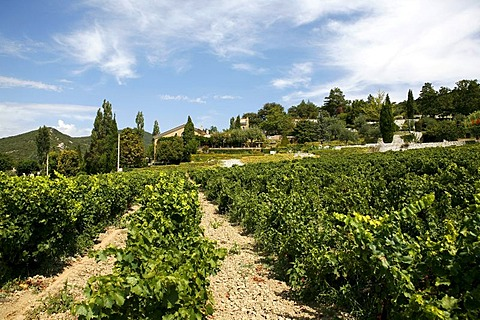 Vine, vineyard cultivation in Le Pegue, Provence, France, Europe
