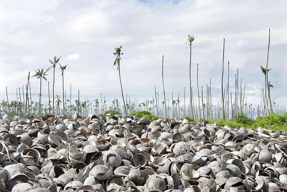 Empty coconut (Cocos nucifera) shells after copra had been removed dumped in a plantation infected with the Yellowing Disease, Quelimane, Mozambique, Africa