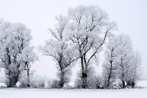 Trees covered with hoar frost in snow-covered landscape in winter, winter landscape, Oberalsterniederung nature reserve, Schleswig-Holstein, Germany - 832-239968