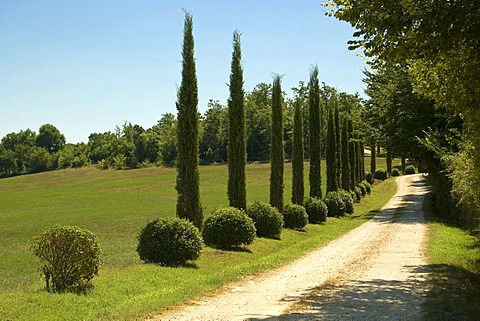 Path with young Cypresses (Cupressus), Monterrigioni, Tuscany, Italy, Europe