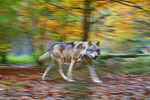Wolf (Canis lupus) in motion, motion blur, enclosure at the Tierpark Weilburg zoo, Weilburg, Hesse, Germany, Europe
