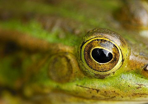 Eye of an edible frog (Rana esculenta)