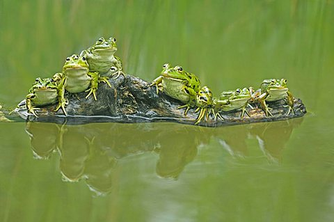 Edible frogs (Rana esculenta) sitting on a branch - 832-24119