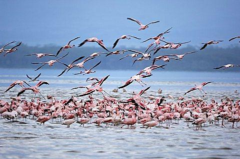 Flamingoes (Phoenicopterus roseus und minor) taking off, Lake Nakuru, Kenya, Africa