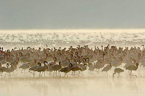 Sunrise at Lake Nakuru with thousands of flamingoes (Phoenicopterus roseus und minor), Lake Nakuru, Kenya, Africa