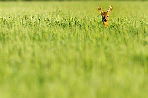 Roe Deer (Capreolus capreolus) standing in a corn field