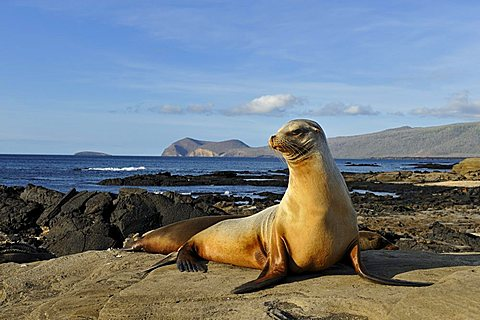 Puerto Egas Bay with Galápagos Sea Lion (Zalophus wollebaeki) at front, Santiago Island, Galapagos Islands, Ecuador, South America