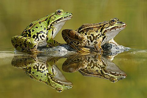 Edible frogs (Rana esculenta, Pelophylax kl. Esculentus) with reflections - 832-24433