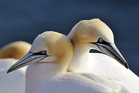 Northern Gannets (Morus bassanus, Sula bassana), in spring, mating season, ocean island, Helgoland, Schleswig-Holstein, Germany, Europe - 832-24441