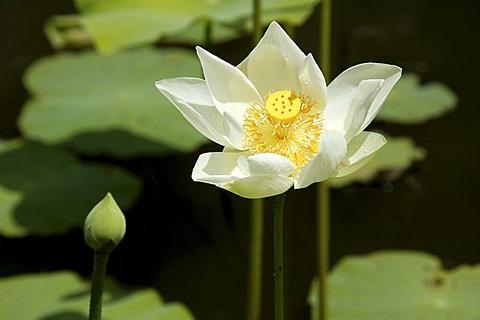 Lotus flower (Nelumbo), The Royal Botanical Gardens of Pampelmousse, Mauritius, Indian Ocean, Africa