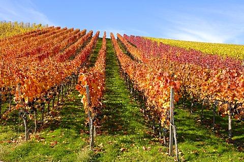 Dornfelder grape vineyard in Remstal, Baden-Wuerttemberg, Germany, Europe