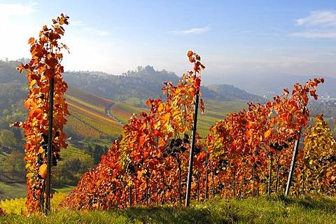 Lemberger grape vineyard near Stuttgart-Rotenberg, Baden-Wuerttemberg, Germany, Europe