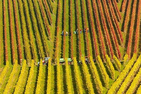 Riesling grape vineyard in Remstal, Baden-Wuerttemberg, Germany, Europe