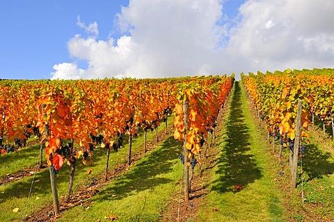Vineyard with Lemberg grapes, Stetten im Remstal, Baden-Wuerttemberg, Germany, Europe