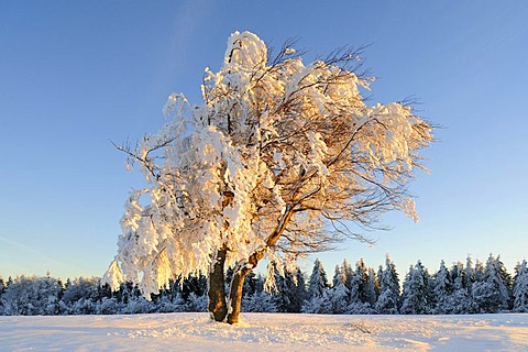 European Beech (Fagus sylvatica) in snow, southern Black Forest, Germany, Europe