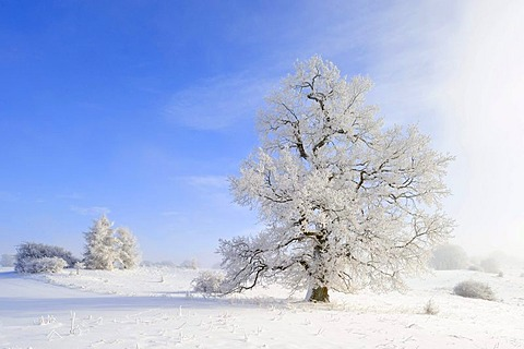 English Oak (Quercus robur), winter landscape, Swabian Alb, Baden-Wuerttemberg, Germany, Europe