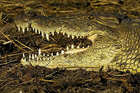 Nile crocodile(Crocodylus niloticus) resting Portrait