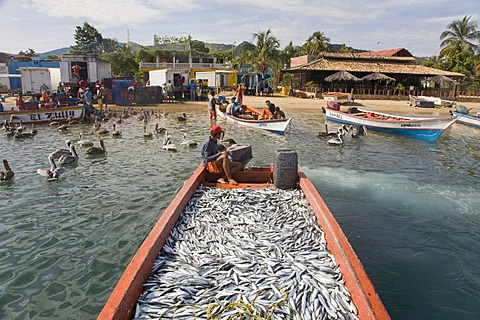 Boat full of sardines, Santa Fe, Caribbean, Venezula, South America