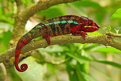 Panther Chameleon (Furcifer pardalis), adult male, Madagascar, Africa