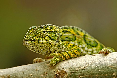 Jewelled Chameleon or Carpet Chameleon (Furcifer lateralis), male, Madagascar, Africa