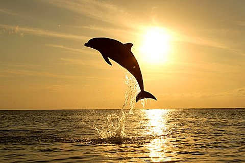 Common Bottlenose Dolphin (Tursiops truncatus), adult, jumping out of the water, sunset, Caribbean, Roatan, Honduras, Central America