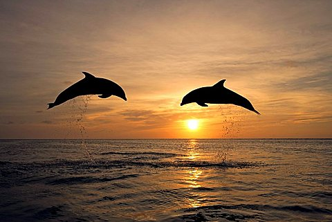 Common Bottlenose Dolphin (Tursiops truncatus), pair, adult, jumping out of the water, sunset, Caribbean, Roatan, Honduras, Central America