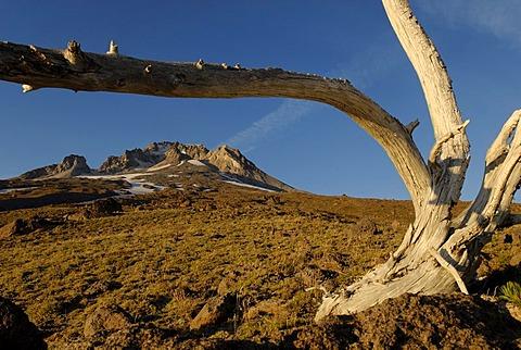 Skeletal tree at Mount Hood volcano, Cascade Range, Oregon, USA