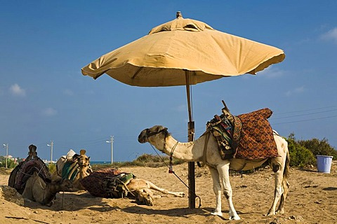 Group of camels under a sunshade, Side, Turkish Riviera, Turkey, Asia
