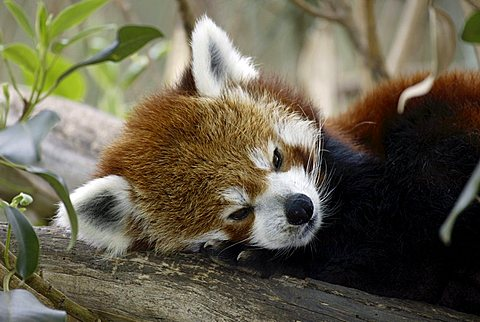 Portrait of a Red or Lesser Panda, Firefox (Ailurus fulgens fulgens), resting adult, native to Asia, China