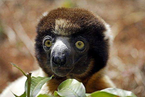 Verreaux's Sifaka (Propithecus verreauxi), adult, portrait, Madagascar