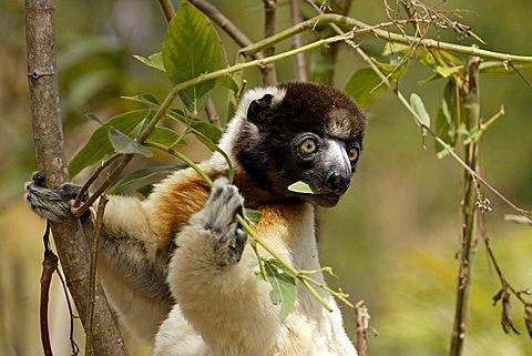 Verreaux's Sifaka (Propithecus verreauxi), adult, in a tree, feeding, portrait, Madagascar