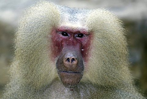 Hamadryas Baboon (Papio hamadryas), adult male, portrait, native to Africa