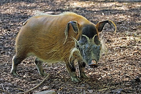Red River Hog or African Bush Pig (Potamochoerus porcus pictus), adult male, found in Cameroon, Africa