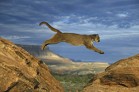 Cougar or Puma (Puma concolor), adult leaping between rocks, Utah, USA, North America