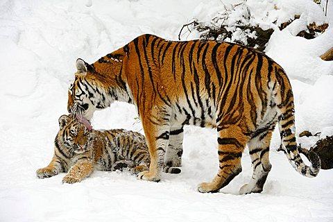 Siberian tiger, Amur tiger (Panthera tigris altaica) with cub