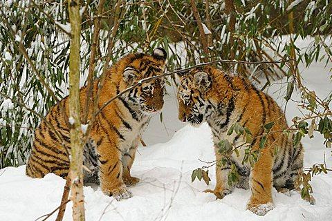 Siberian tiger, Amur tiger (Panthera tigris altaica), cubs