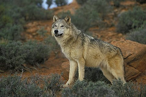 Eastern Canadian Wolf or Eastern Canadian Red Wolf (Canis lupus lycaon)