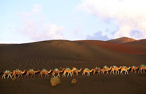 Camel tour at Timanfaya National Park, Lanzarote, Canary Islands, Spain, Europe