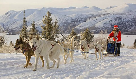 Santa Claus, running sled dogs, Alaskan Huskies, dog team, musher, dog sled race near Whitehorse, Fish Lake behind, Yukon Territory, Canada