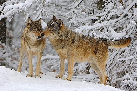 Canadian Wolves (Canis lupus occidentalis)